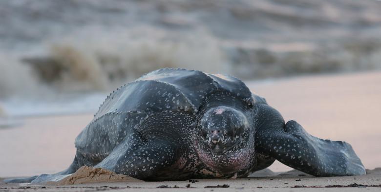 Testoasa Leatherback