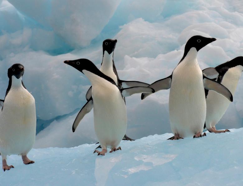 Pinguni Adelie
