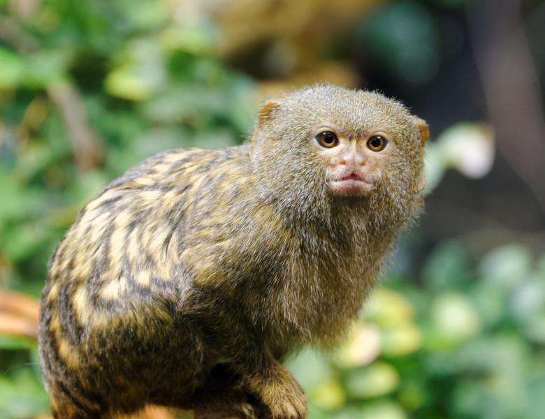 Marmoseta pigmeu