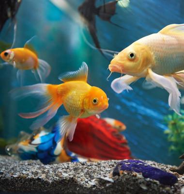 pesti acvariu 1
