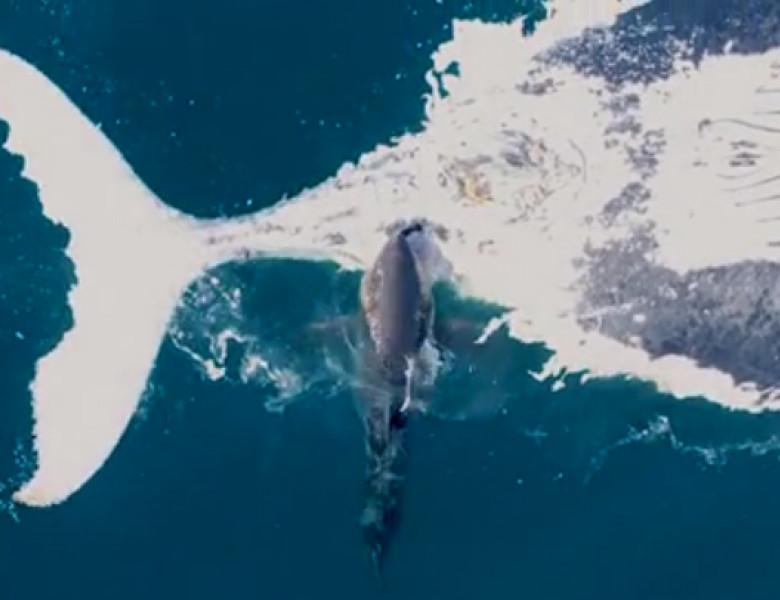 rechin balena australia
