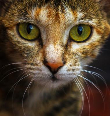 pisica pchi mari