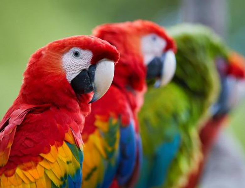 papagali 3