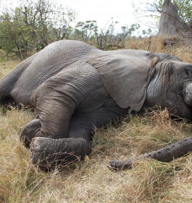elefant dormind
