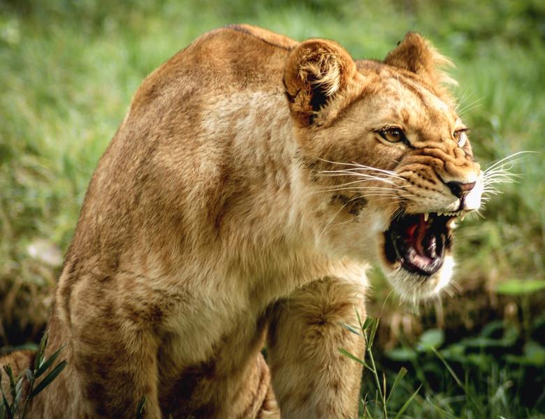 leoaica suparata