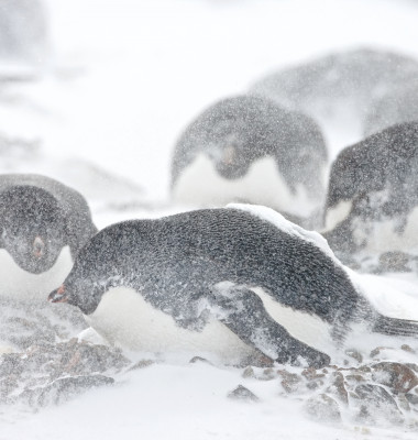 pinguini adelie furtuna