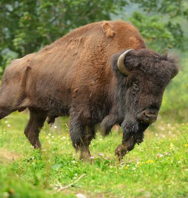 bizon atac 2
