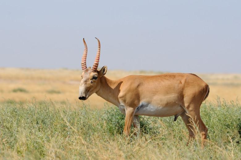 Antilopa Saiga