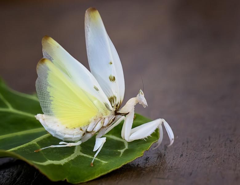 Calugarita Orhidee