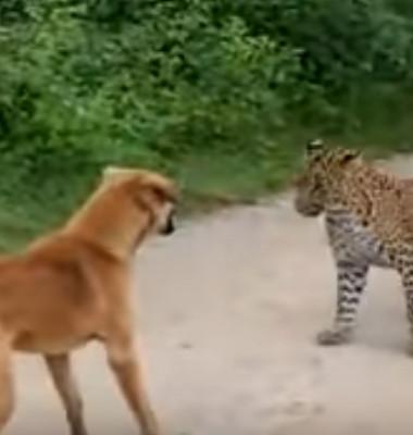 caine vs leopard