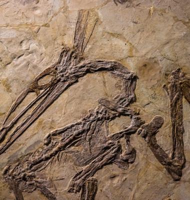 fosila pterozaur