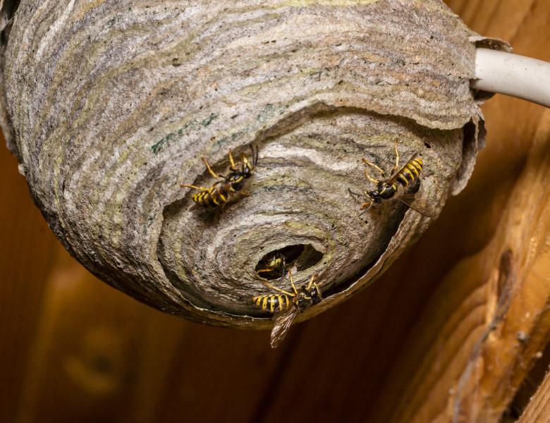 cuib de viespi
