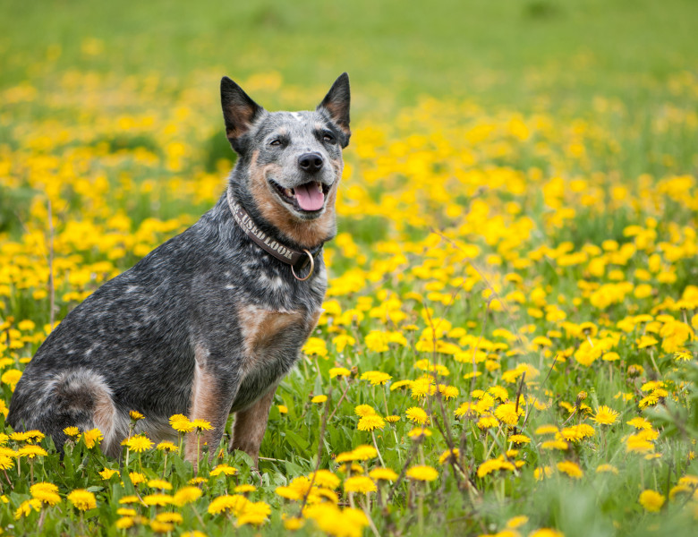 australian cattle dog caine