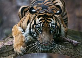 tigru sumatra