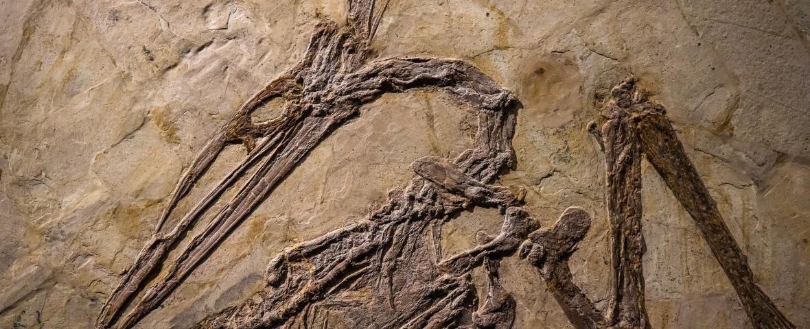 fosila pterodactil