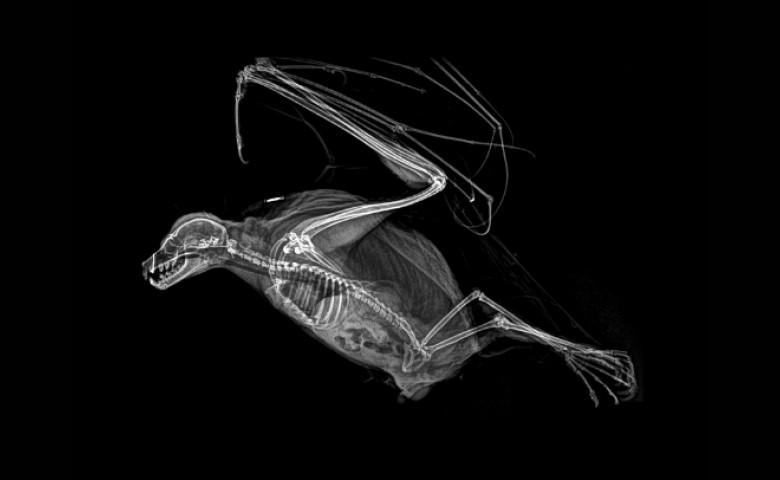 vulpe zburatoare radiografie