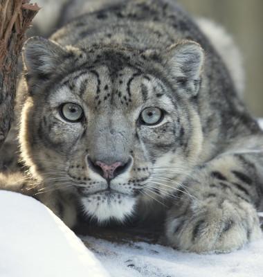 leopardul zapezilor 2