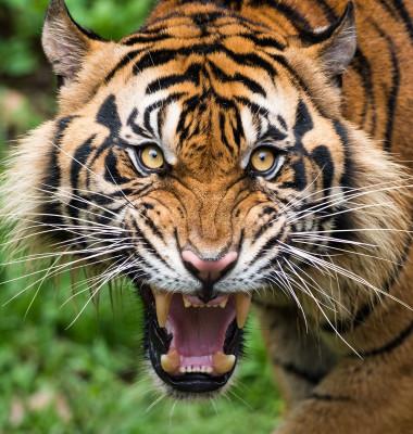 tigru 3 (5)