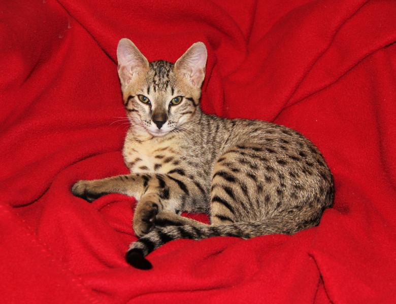 pisica savannah 1