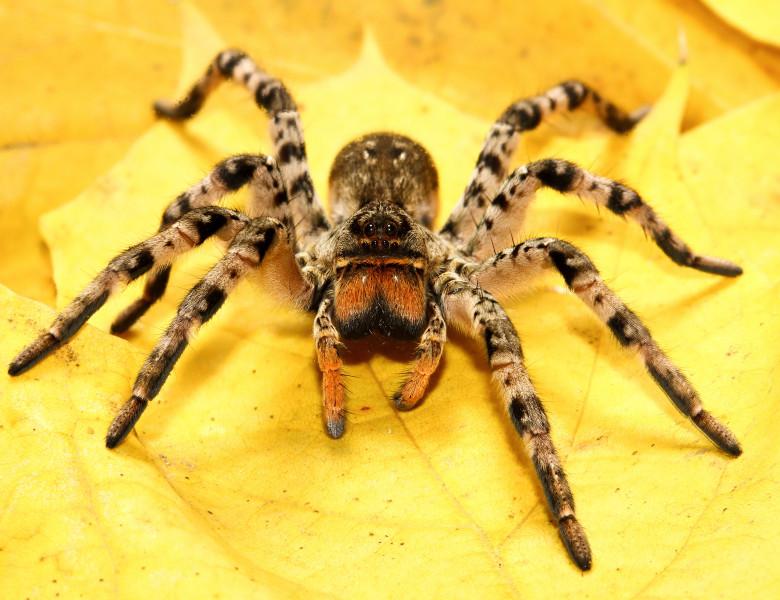 tarantula maro pe frunza galbena