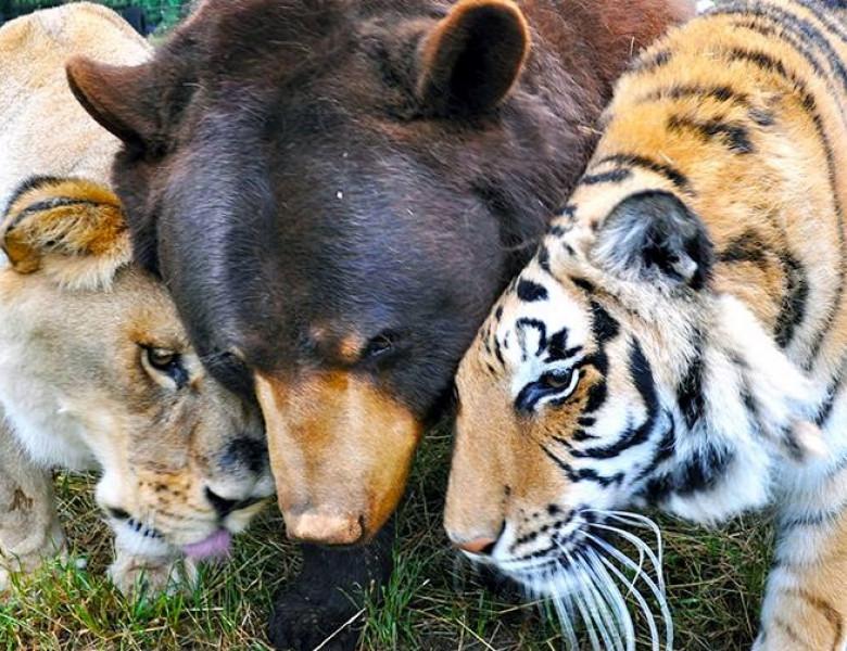 prieteni urs tigru leu
