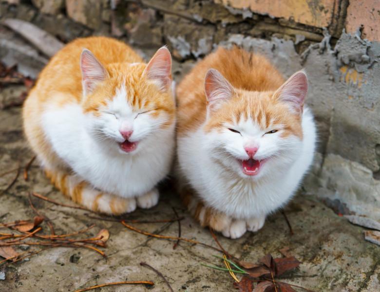 doua pisici miau