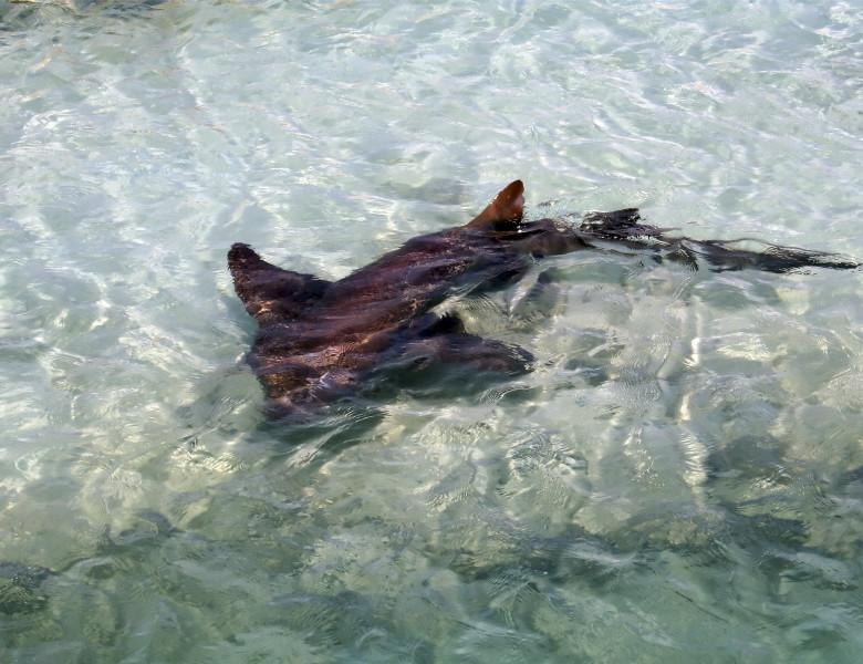 rechin in apa