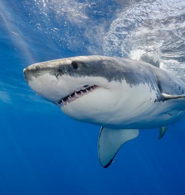 rechin alb aproape de suprafata in ocean