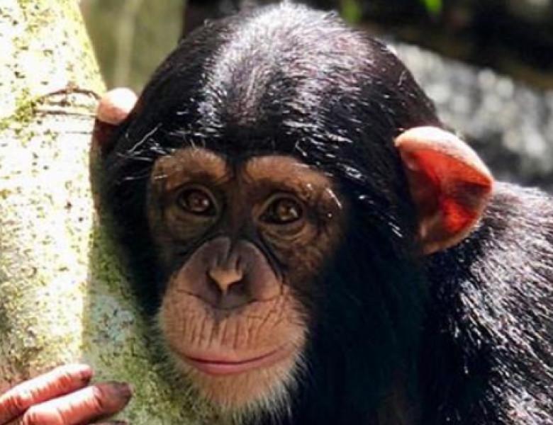 cimpanzeu zoo