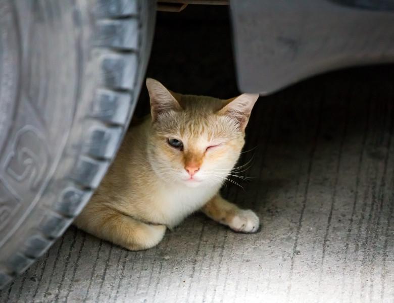 pisica sub masina