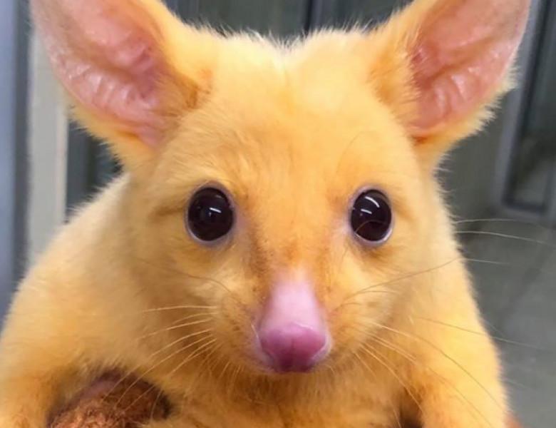 oposum pikachu