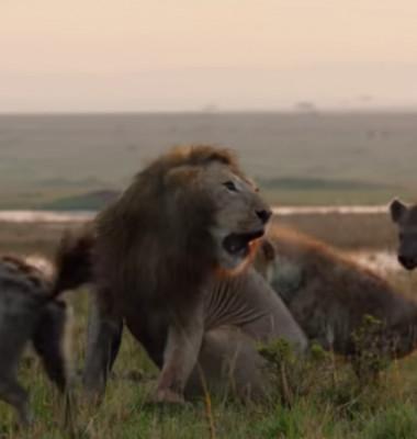 Leu tanar care se lupta cu hienele