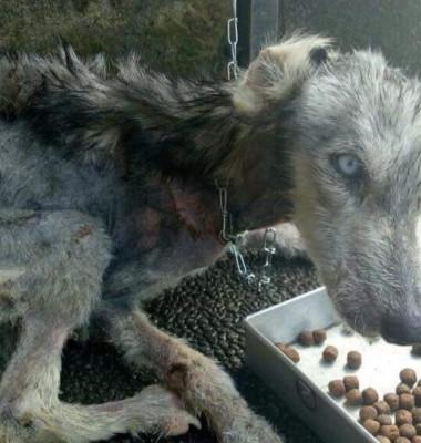 Caine husky abandonat pe strada foarte slab