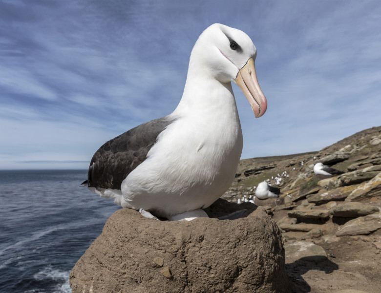 albatros