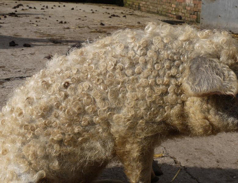 Mangalitsa curly haired pig