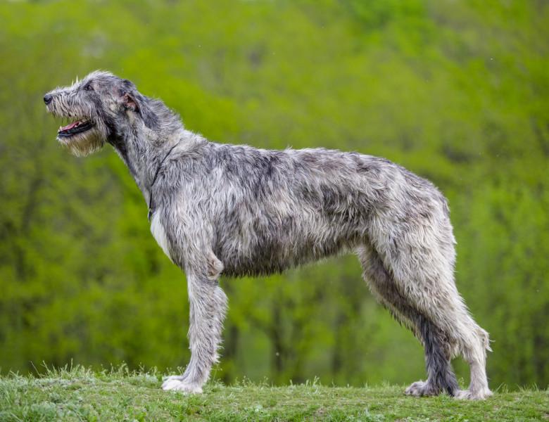 Irish Wolfhound sau Ogarul irlandez