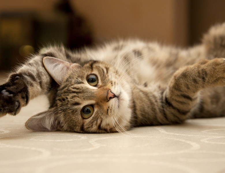 pisica vargata care sta pe spate pe podea