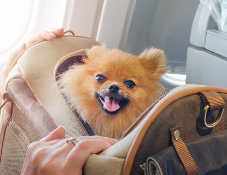 caine mic pomeranian intr-o  geanta in avion