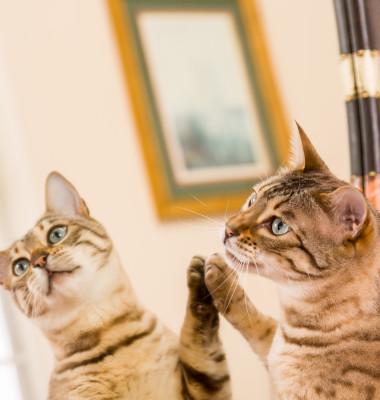 pisica vargata care se uita la propria reflexie in oglinda