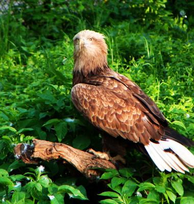 Codalb, vultur masiv, pe o craca in iarba