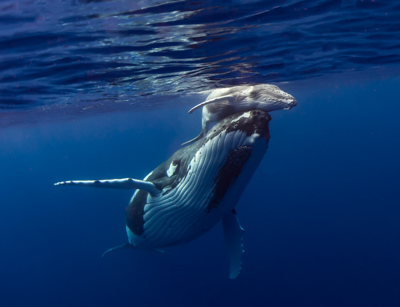 balena cu cocoasa si pui in ocean