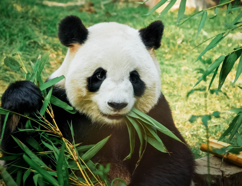 urs panda care mananca bambus