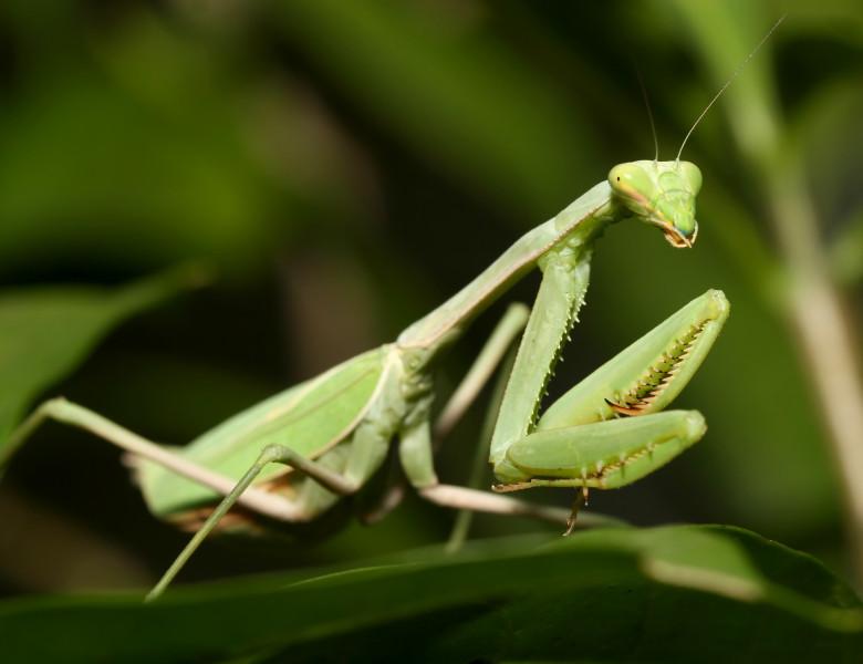 insecta calugarita verde pe o frunza verde