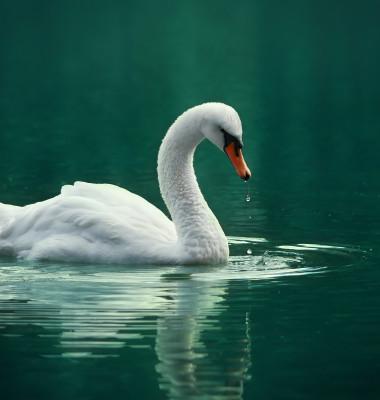 White swan on the green lake