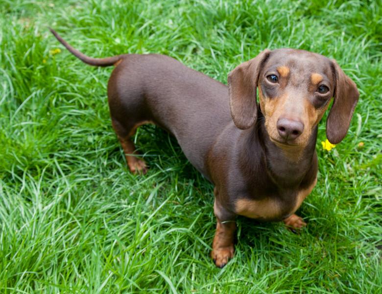 caine dachshund (teckel) pe iarba cu fata la camera