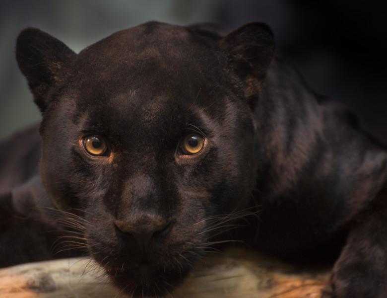 leopard negru care se uita in camera.