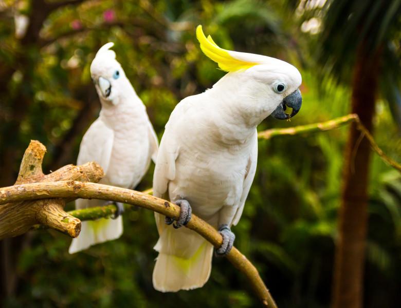 doi papagali cacadu albi cu creasta galbena
