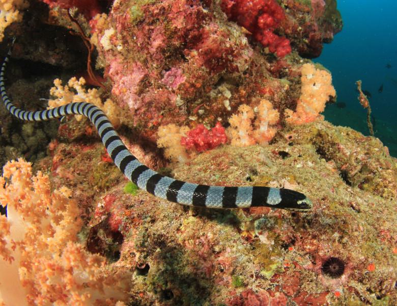 sarpe de mare cu dungi in apropierea de coral