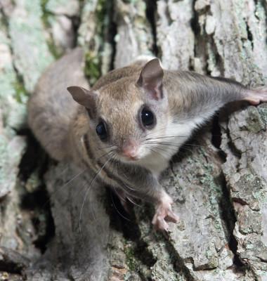 veverita zburatoare pe trunchi de copac