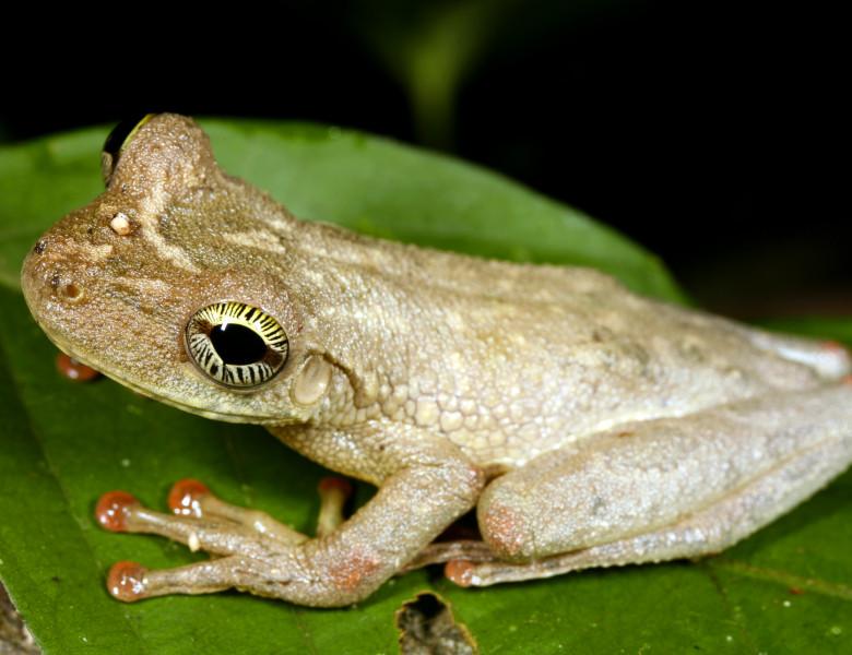 broasca amazon de culoare alb-bej pe o frunza verde